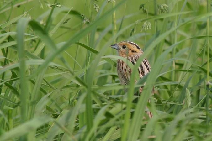 Le Conte's Sparrow 1.jpg
