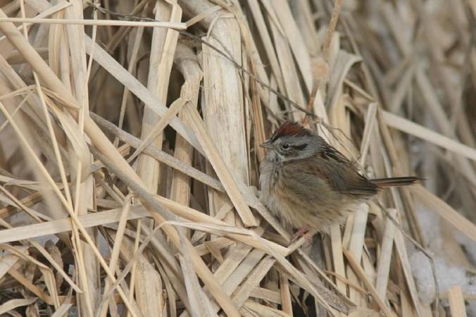 Swamp Sparrow_6463