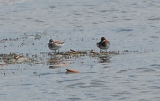 Red-necked Phalarope, male on left, female on right. Copyright Gillian Ricahrds