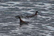 Red-necked Phalarope. Copyright Gillian Ricahrds