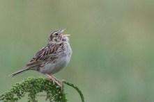 Baird's Sparrow_4764_singing_Artuso
