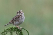 Baird's Sparrow_4764_singing_Artuso