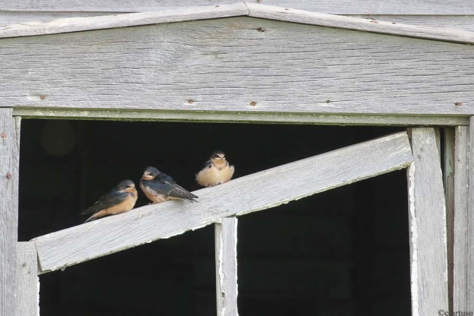 Barn Swallow_4642_juv_Artuso