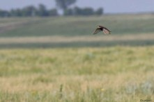 Chestnut-collared Longspur_4819_m_flight over prairie_Artuso