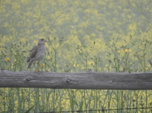 That clown, the Upland Sandpiper. Photo copyright Donna Martin