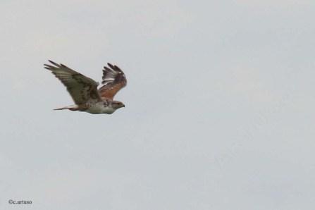 Ferruginous Hawk. Photo copyright Christian Artuso