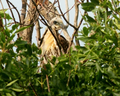 Juvenile Red-tailed Hawk in a tree. Photo copyright Donna Martin