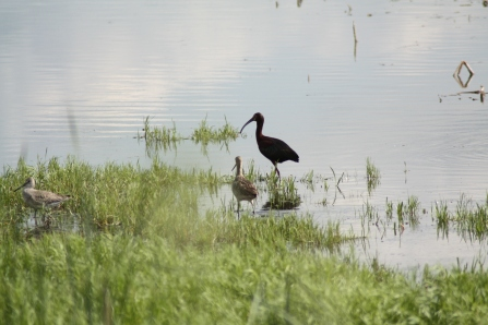 White-faced Ibis, Willet and Marbled Godwit at wetland southeast of Oak Lake and Plum lakes IBA. Photo copyright Tim Poole