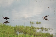White-faced Ibis and American Avocet at wetland southeast of Oak Lake and Plum lakes IBA. Photo copyright Tim Poole
