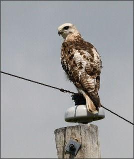 A second view of a juvenile Red-tailed Hawk, this time on a telegraph post. Photo copyright Garry Budyk