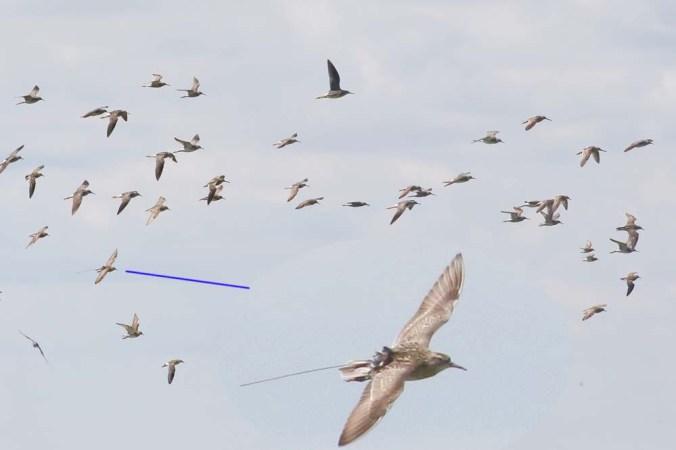 shorebird flock_7625_GRYE_LEYE_STSA_PESA_SESA_WIPH_SBDO