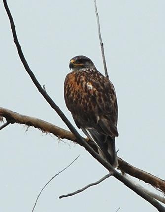 Ferruginous Hawk. Photo copyright Gillian Richards