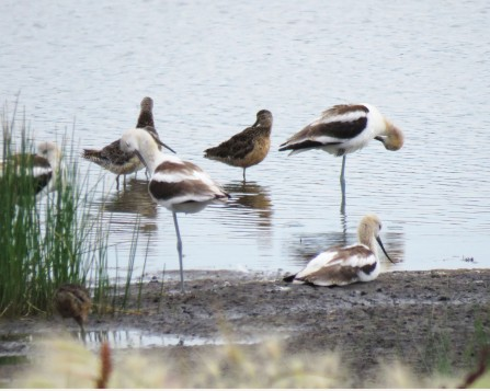 American Avocets and dowitchers. Photo copyright Linda Curtis