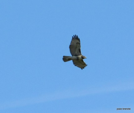 Red-tailed Hawk. Copyright Josie Brendle