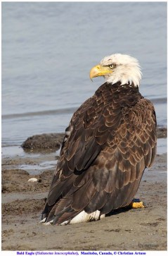 Bald Eagle. Copyright Christian Artuso