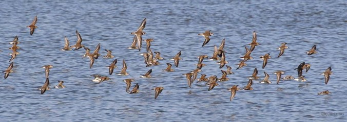 least-sandpiper_2670_semipalmated-sandpiper_semipalmated-plover_flock-in-flight