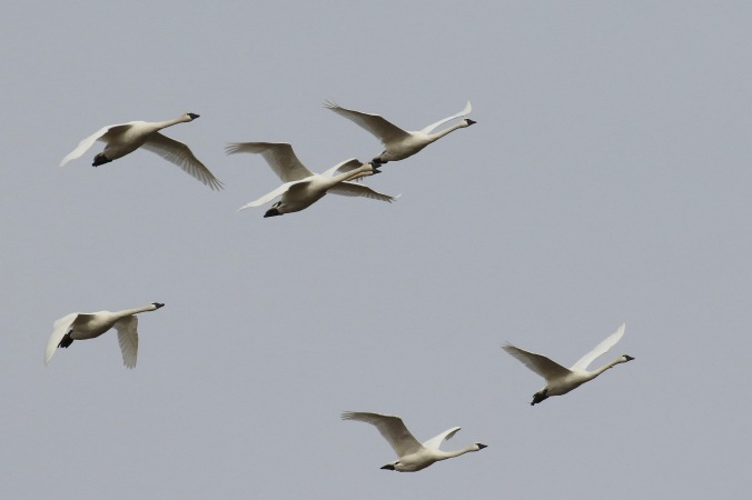 tundra-swan_2361_flock-in-flight_artuso
