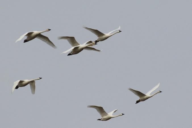 tundra-swan_2361_flock-in-flight_artuso
