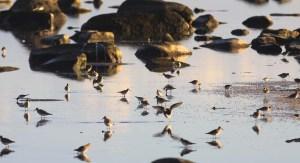 pectoral-sandpiper_6102_flock_white-rumped-sandpiper_semipalmated-sandpiper