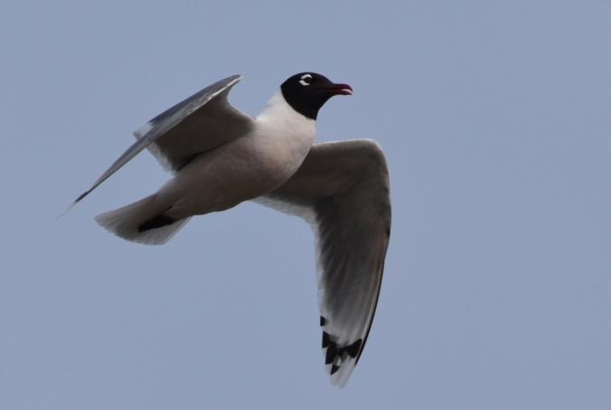 Franklins Gull floating in air crop R.jpg