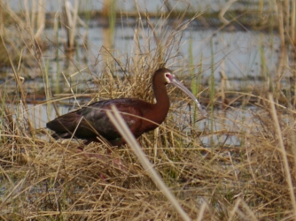 White-faced Ibis ©Katharine Schulz