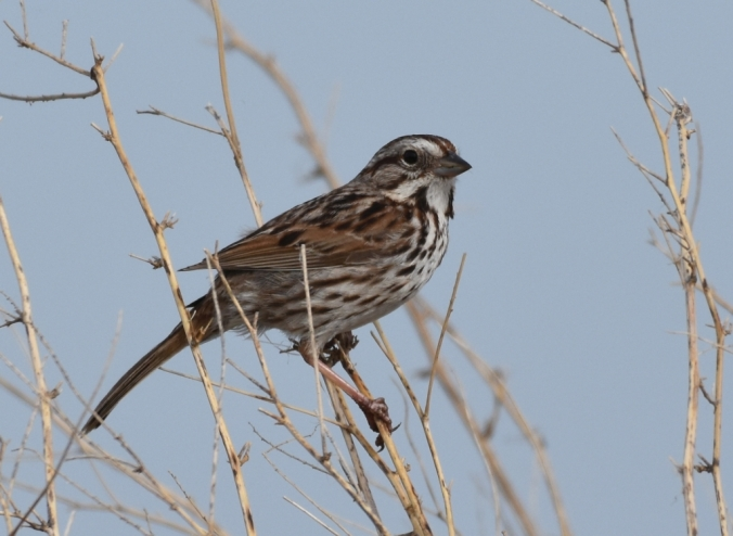 Song Sparrow R crop