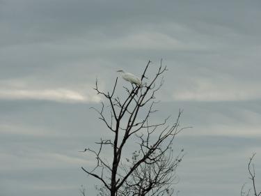 Great Egret ©Patricia Rosa