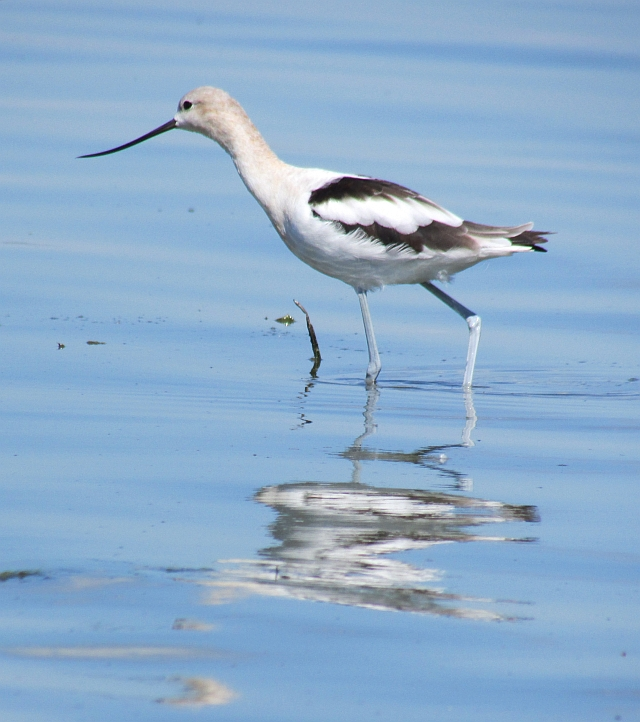 avocet reflections reduced