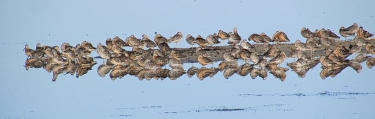 Dowitchers reduced