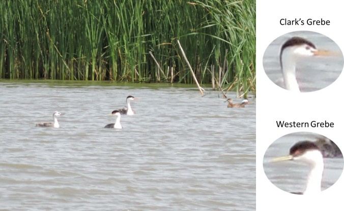Identification GREBES