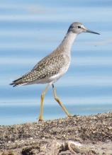 Lesser Yellowlegs reduced