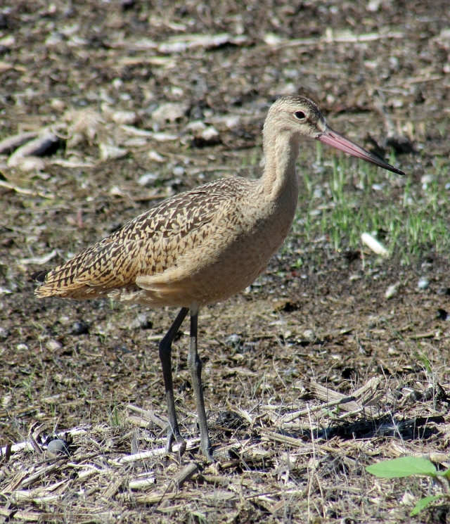 Marbled Godwit reduced