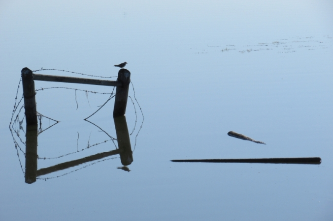 Reflections - Black Tern reduced