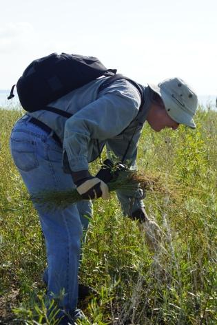Sandy Bar volunteer pulling weeds (1)