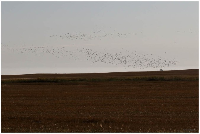 shorebird flock in flight_1159.jpg
