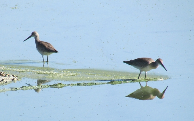 willets reduced