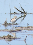 Wilsons Phalarope juvenile reduced