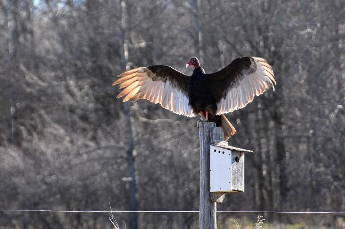 8558turkey vulture