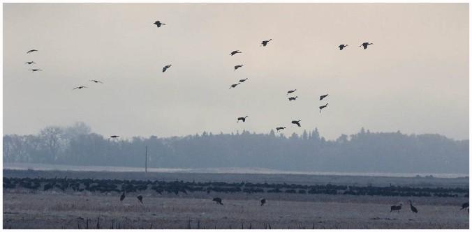 Sandhill Crane_4489_flock_Artuso