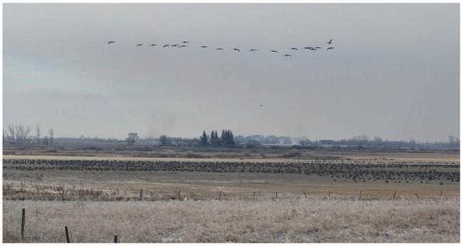 Sandhill Crane_4555_distant flock_Artuso