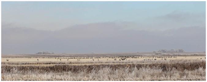 Sandhill Crane_4606_distant flock_Artuso