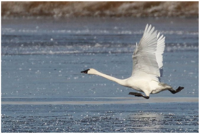Tundra Swan_4726_auditions for loony tunes on ice_Artuso