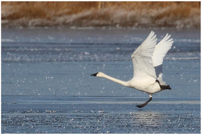 Tundra Swan_4728_take off