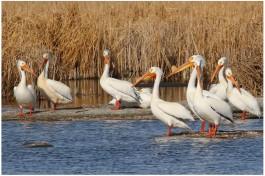 American White Pelican_5819_Artuso