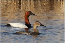 Canvasback_5776_pair_Artuso