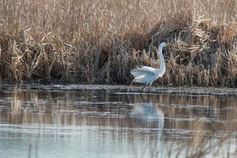 great egret by cam nikkel