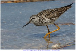 Lesser Yellowlegs_6027_Artuso