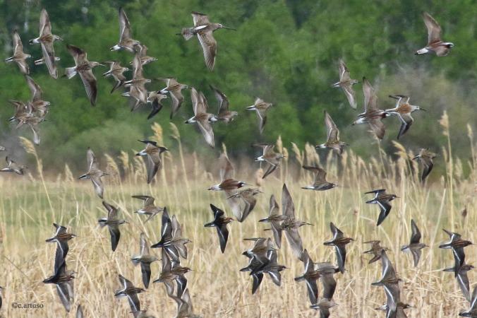 shorebird flock in flight_RNPH_WIPH_LBDO_DUNL_STSA_WRSA_SESA_7091_Christian Artuso.jpg