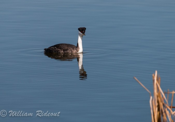 western grebe 1 William Rideout