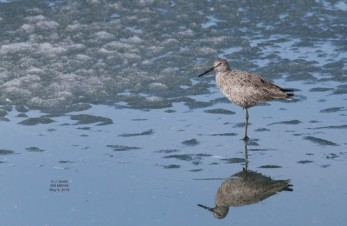 Willet by Joanne Smith